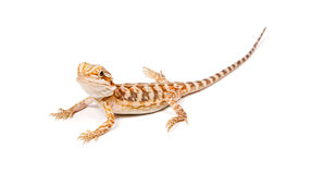 Leatherback Bearded Dragon Stock Image