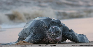 Leatherback sea turtle. Crawling up the beach to complete the nesting process Royalty Free Stock Images