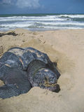 Leatherback Sea Turtle Nesting on Beach Stock Image