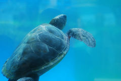 Leatherback Sea Turtle Swimming Underwater Stock Images