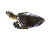 Leatherback Sea Turtle on white Royalty Free Stock Image
