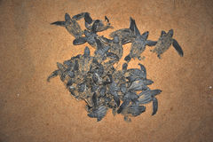Leatherback sea tutle emergence. Once the surface layers of the beach cool after sunset at night, the turtles emerge in a group and proceed to crawl down the Royalty Free Stock Photo