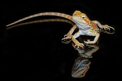 Free Leatherback Smooth Bearded Dragon Pogona Vitticeps Australian Lizard Standing On Isolated Black Background With Reflections Stock Images - 208089804