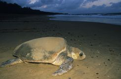 Leatherback Turtle on beach Stock Photography