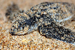 Leatherback Turtle Hatchling Stock Photos