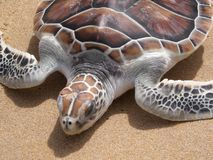 Leatherback turtle on Phuket beach. This leatherback turtle was released on a Phuket beach Royalty Free Stock Photos