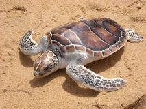 Leatherback turtle on Phuket beach Stock Image