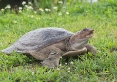 Soft-Shelled Turtle. Soft shell shelled turtle in the everglades Stock Photos