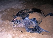 Leatherback turtle, Tobago. Stock Photos
