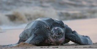 leatherbackhavssköldpadda royaltyfria bilder