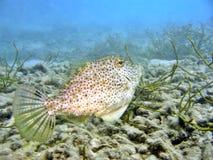 Leatherjacket Fish Stock Photography