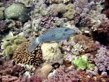 Leatherjacket Fish Royalty Free Stock Photography
