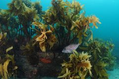 Leatherjacket in kelp forest royalty free stock photos