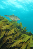 Leatherjacket and kelp forest Royalty Free Stock Photos