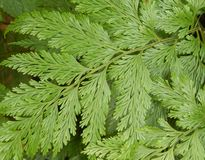 Leatherleaf fern. Also known as leathery shieldfern, iron fern, 7-weeks-fern, and climbing shield fern (Rumohra adiantiformis) leaves Stock Image Stock Image