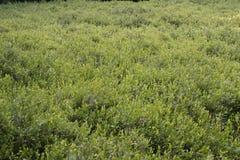 Leatherleaf Shrubs. Carpet of low-lying Leatherleaf (Chamaedaphne calyculata) shrubs in a northern bog Stock Image