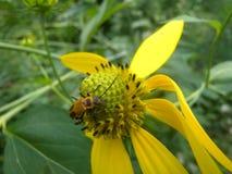 Leatherwing Beetle on Yellow Coneflower Stock Images