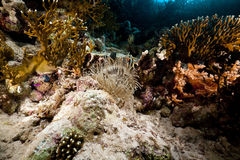 Leathery anemone life in the Red Sea. Stock Photography