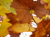 Leathery Browns with Veins. The deep rich color of brown and the veins showing gives rise to the thought of fall ahead Royalty Free Stock Image
