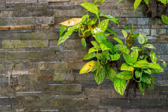 Leathery leaves. On waterfall with stone wall texture Stock Image