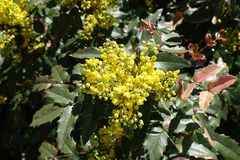 Leathery leaves and yellow flowers of Oregon grape. Bush Royalty Free Stock Photos
