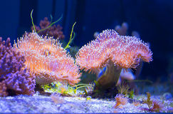 Leathery mushroom coral. This is one of the most popular soft corals Stock Photo
