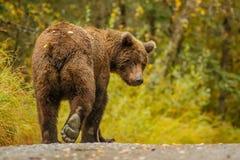 leavaing和给再见的巨大的阿拉斯加的熊 库存图片