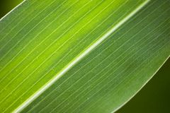 Leave. Detail of one green corn leaves Stock Photography