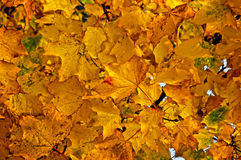 Leave background. Background image of autumn leaves high up in tree Stock Photo