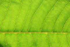 Leave Blade Texture - Abstract Art within Nature - Green Background Royalty Free Stock Image