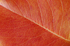Leave close up. In red colors Royalty Free Stock Photo