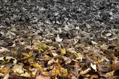 Leave contrast. Fallen leaves in autumn covering the ground graded image from color to black and white Stock Photo