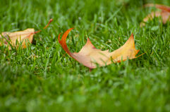Leave on grass. A yellow and red leave on green grass Stock Image