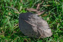 Leave on the green grass. The last autumn leave stock photography