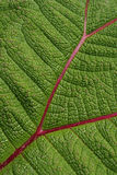 Leave of Gunnera insignis Royalty Free Stock Photography