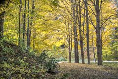 A leave littered path runs through a golden woods in Michigan USA royalty free stock image
