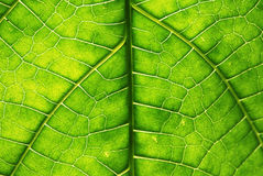 Leave Macro. Leaf with backlight and extreme detail Stock Images
