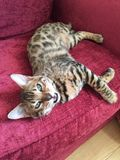Leave me alone I& x27;m tired. The Bengal cat on a sofa Stock Image
