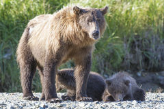 Leave my children alone. Mother brown bear acting defensive around her cubs royalty free stock images