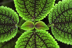 Leave pattern of Pilea crassifolia Stock Photography