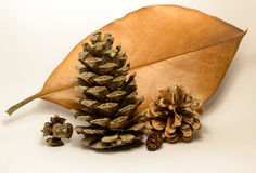 Leave and pine cones. Leave and forest pine cones on the white background Stock Photography