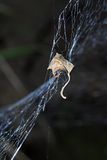 Leave in sipder web. Leave trap in a spider web Stock Image