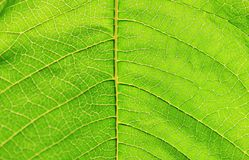 Leave Textture - Abstract Art within Nature - Green Background. A close-up of a green leaf in macro, as photographed in Africa Royalty Free Stock Images