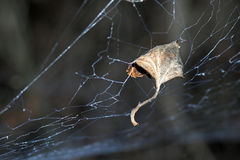 Leave and web. Leave trapped in spider web royalty free stock images