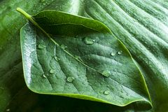 Leave on wet green. Wet leave on wet green leave background royalty free stock image