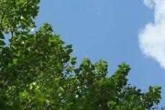 Leavea del álamo y un poco de pelusa en un fondo del cielo azul Imagen de archivo libre de regalías