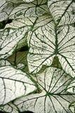 leaved caladium причудливое Стоковая Фотография RF