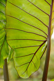 Leaved Caladium för Closeup. Arkivfoto
