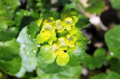 Leaved golden saxifrage Royalty Free Stock Photo
