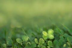 Leaved Klee des Vermögens vier, der im Sonnenlicht auf dem Boden wächst Lizenzfreie Stockfotos